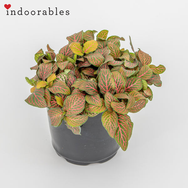 Miniature Nerve Plant Vibrant Red - Indoorables