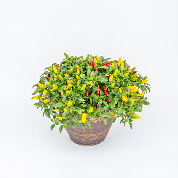 "10"" Porch Pot Ornamental Pepper"
