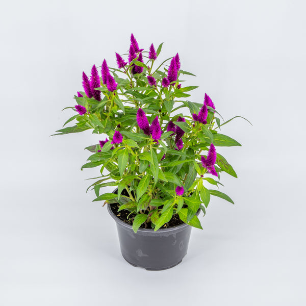 2 Gallon Celosia Intenze Classic