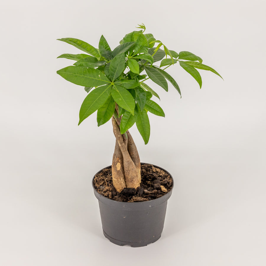 Pachira or Money Tree