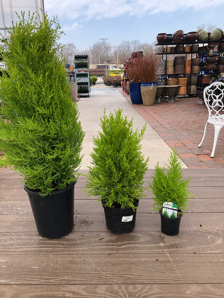 Lemon False Cypress
