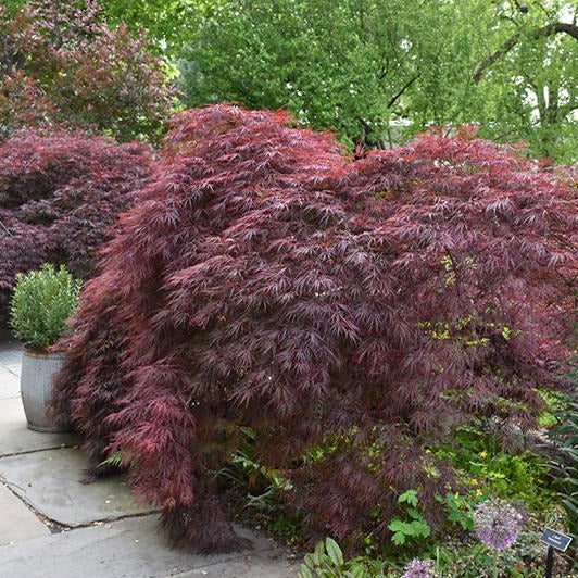 'Crimson Queen' Japanese Maple - 3' Staked