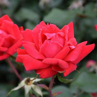 'Double Knockout' Rose - 3 GAL
