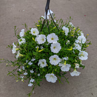 "12"" Fiber Pot Mixed Hanging Basket - Assorted Colors"
