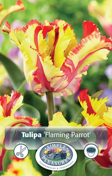 Tulip Flaming Parrot - 6PK