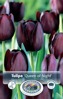 Tulip Queen of Night - 8PK