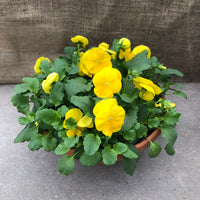 "12"" Pansy Bowls, Assorted Colors"