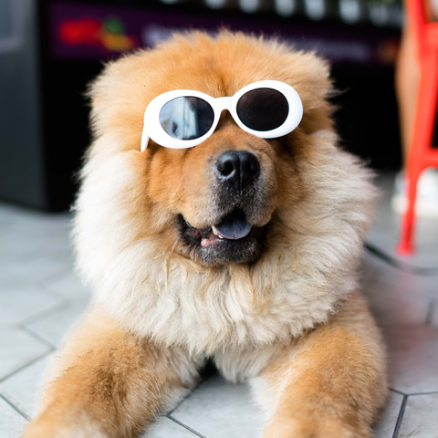 A dog relaxing in owner's sunglasses thanks to the benefits of CBD