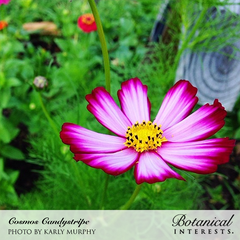Cosmos Candy Stripes