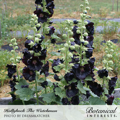 Hollyhock The Watchman