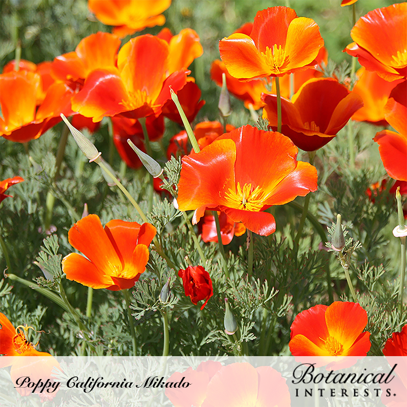 Poppy California Mikado