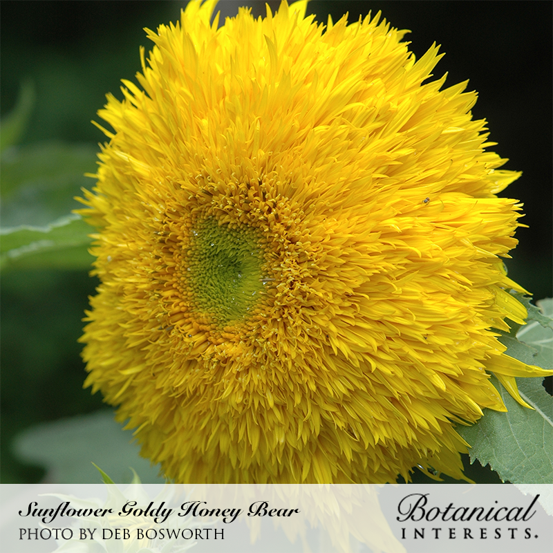 Sunflower Goldy Honey Bear Organic