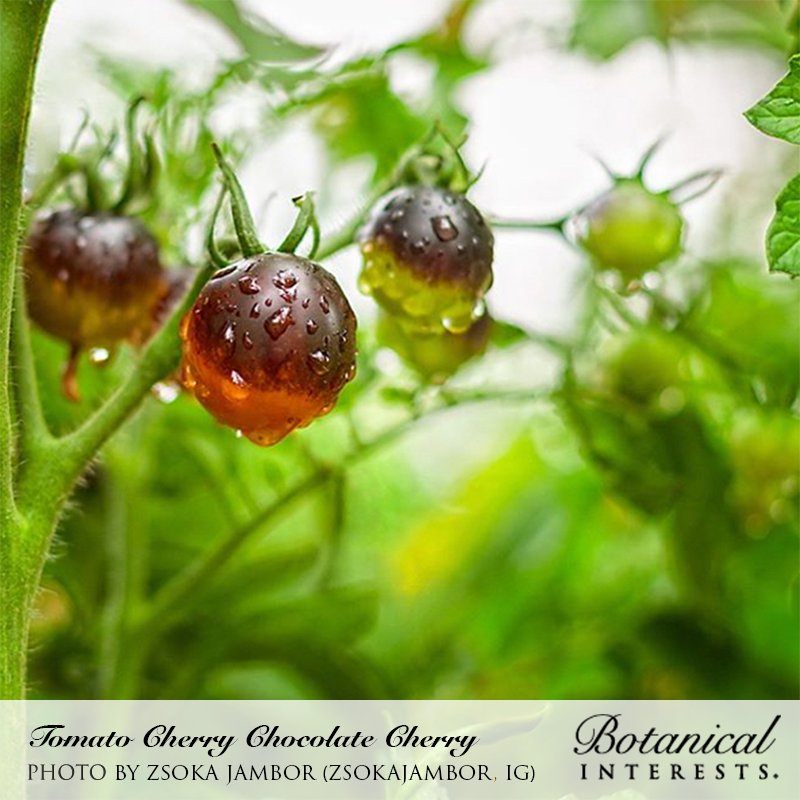 Tomato Cherry Chocolate Organic