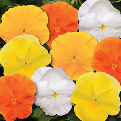 Pansy Spring Matrix Daffodil Mix - 4
