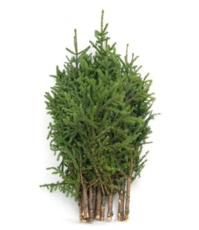 Spruce Tips 2'-3' - Bundle of 10