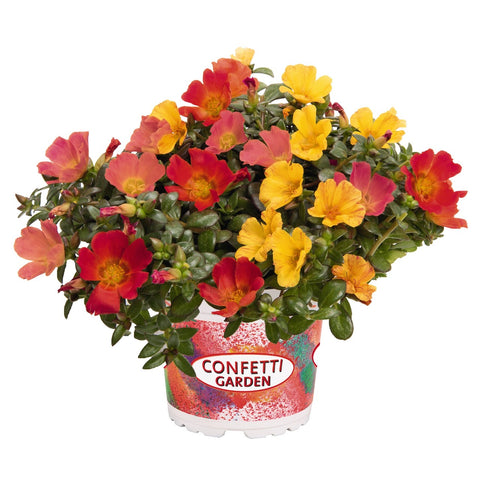 Portulaca (Moss Rose) Cupcake Party Hanging Basket 10""