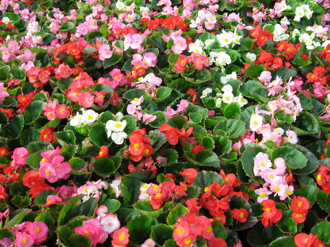 Begonia - Multiple Colors