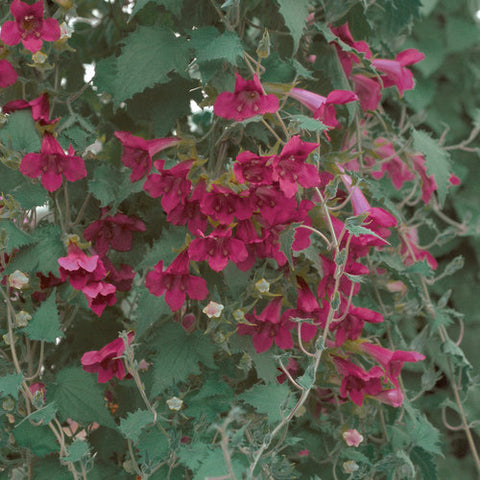 Lophospermum Red Hanging Basket 10""