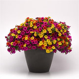 "Calibrachoa (Callie) Hanging Basket 10"" - Multiple Colors"