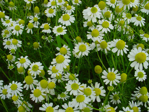 Chamomile German 3""