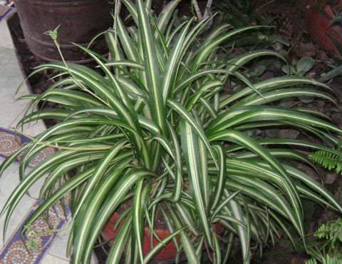 Spider Plant Hanging Basket 10""