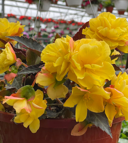 "Begonia Hanging Basket 10"" - Multiple Colors"