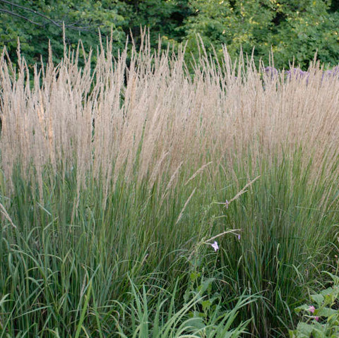 Calamagrostis acutiflora (Feather Reed Grass)