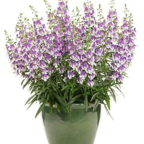 "Angelonia 4.5"" - Multiple Colors"