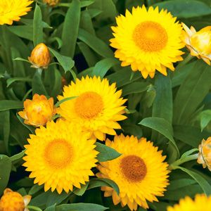 Strawflower (Bracteantha) Mohave Yellow Hanging Basket 10""
