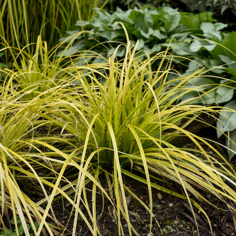 Carex oshimensis (Japanese Sedge) - Everillo