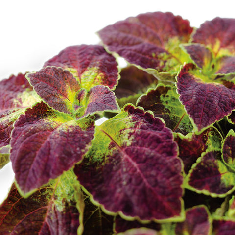 "Coleus ColorBlaze 4.5"" - Multiple Colors"
