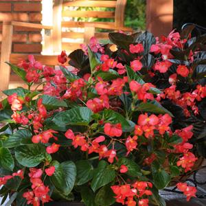 Begonia - Big & Whopper - Multiple Colors