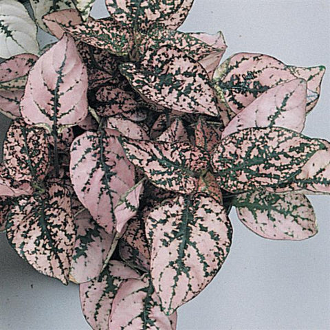 Hypoestes - Multiple Colors