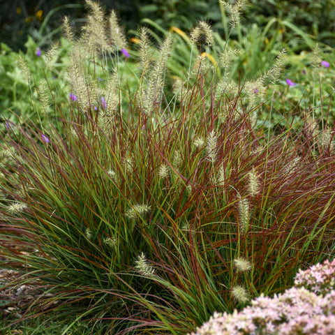 Pennisetum (Fountain Grass)