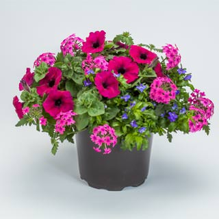 "Mixed Flowering Hanging Basket 10"" - Multiple Colors"