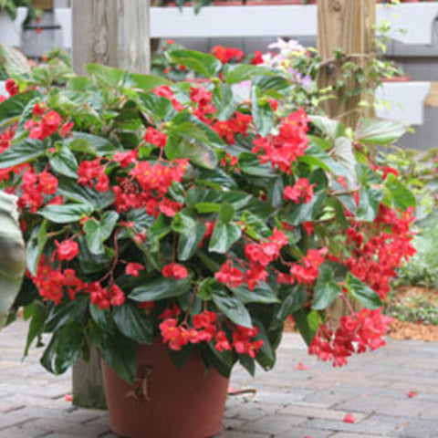 "Dragon Wing Begonia Hanging Basket 10"" - Multiple Colors"