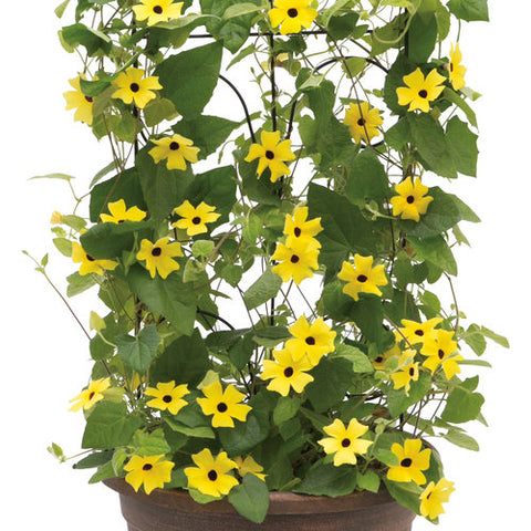 Thunbergia 12' Pot w/ Trellis - Multiple Varieties