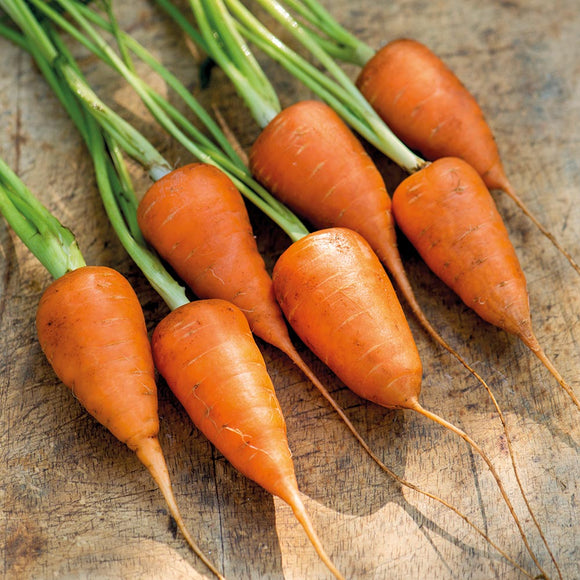 Carrot - Chantenay - 6 Pack of plugs