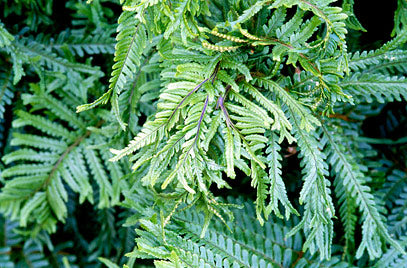 Dryopteris Collection - Fern
