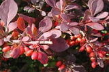 Berberis Collection