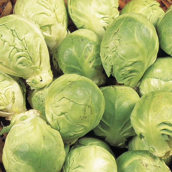 Sprouts - Crispus -6 pack of plug
