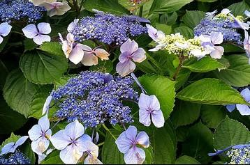 Hydrangea Collection