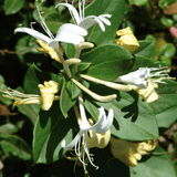 Lonicera Collection