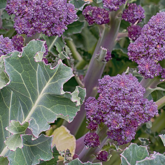 Broccoli Purple Sprouting - Santee 6 pack