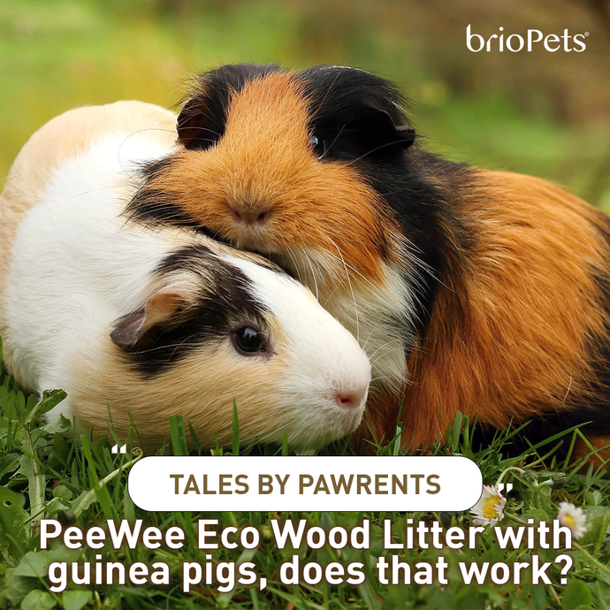 Tales by Pawrents: PeeWee Eco Wood Litter with guinea pigs, does that work?