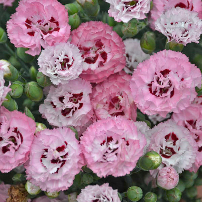 DIANTHUS 'Apple Blossom Burst'