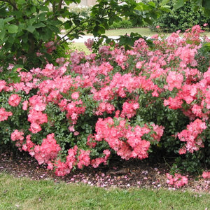 Rosier Flower Carpet 'Coral' (Rosa 'Flower Carpet Coral')