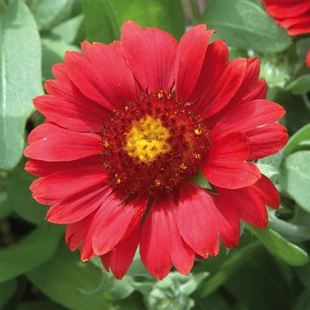 GAILLARDA aristata 'Gallo Red'