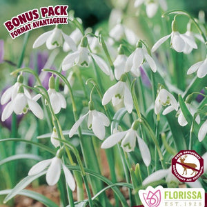 Galanthus 'Snowdrop Single'