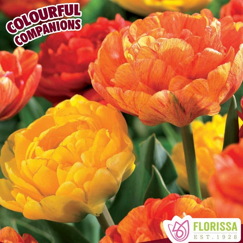 Tulipes mix 'Pineapple Express'